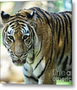 Tiger - Endangered - Wildlife Rescue Metal Print by Paul Ward
