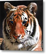 Tiger Blue Eyes Metal Print by Rebecca Margraf