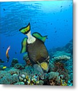 Titan Triggerfish Picking At Coral Metal Print by Steve Jones