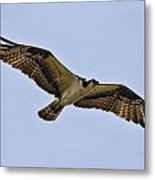 Topsail Osprey Metal Print by Betsy Knapp