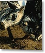 Two  Bulls Locking Heads In The Omani Metal Print by James L. Stanfield