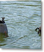 Two Ducks Diving Metal Print by Matthias Hauser