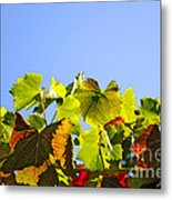 Vineyard Leaves Metal Print by Carlos Caetano