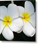 White Plumerias Metal Print by Shane Kelly