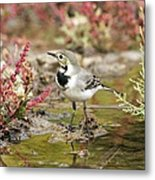 White Wagtail Metal Print by Photostock-israel
