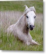 Wild Welsh Pony Metal Print by Steve Hyde