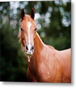 Young Brown Quarter Horse Metal Print by Jorja M. Vornheder