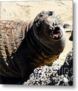 Young Elephant Seal Molting . 7d16100 Metal Print by Wingsdomain Art and Photography