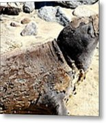 Young Elephant Seal Molting . 7d16118 Metal Print by Wingsdomain Art and Photography