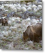 Young Grizzly Cubs Play As Their Mother Metal Print by Drew Rush