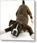 Brindle Boxer Pup Metal Print by Jane Burton