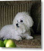 Fifi The Bichon Frise  Metal Print by Michael Ledray