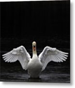 Mute Swan Stretching It's Wings Metal Print by Urban Shooters
