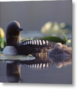 Pacific Loon Gavia Pacifica Parent Metal Print by Michael Quinton