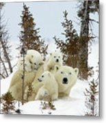Polar Bear Ursus Maritimus Trio Metal Print by Matthias Breiter