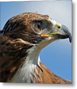 Red-tailed Hawk Metal Print by Alan Lenk