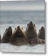 Stellers Sea Lion Eumetopias Jubatus Metal Print by Michael Quinton