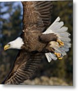 Bald Eagle Metal Print by John Hyde - Printscapes