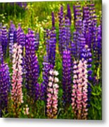 Lupin Flowers In Newfoundland Metal Print by Elena Elisseeva