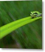 Pacific Tree Frog Metal Print by Alasdair Turner