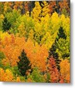 Quaking Aspen And Ponderosa Pine Trees Metal Print by Ralph Lee Hopkins