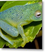 Spiny Glass Frog Metal Print by Dante Fenolio
