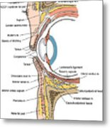 Illustration Of Eye Anatomy Metal Print by Science Source