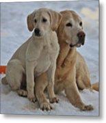 Yellow Labradors Metal Print by Steven Lapkin