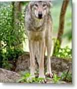 Timber Wolf Metal Print by Michael Cummings