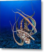 Hawaii, Day Octopus Metal Print by Dave Fleetham - Printscapes