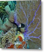 A Bi-color Damselfish Amongst The Coral Metal Print by Terry Moore