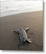 A Leatherback Sea Turtle Hatchling Metal Print by Joel Sartore