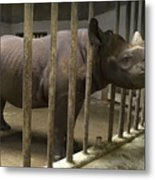 A Rhino At The Sedgwick County Zoo Metal Print by Joel Sartore