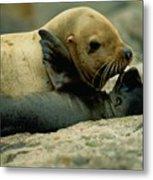 A Steller Sea Lion Cow Eumetopias Metal Print by Joel Sartore