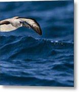 Albatross Of The Deep Blue Metal Print by Basie Van Zyl