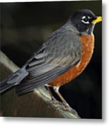American Robin Metal Print by Laura Mountainspring