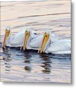 American White Pelicans Metal Print by Bob Gibbons