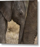 An Elephant Calf Finds Shelter Amid Metal Print by Michael Nichols