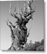 Ancient Bristlecone Pine Metal Print by Daniel Ryan