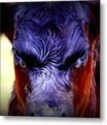 Angry Black Angus Calf Metal Print by Tam Graff
