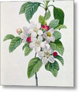 Apple Blossom Metal Print by Pierre Joseph Redoute