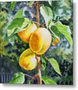 Apricots In The Garden Metal Print by Irina Sztukowski
