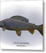 Arctic Grayling Metal Print by Ralph Martens