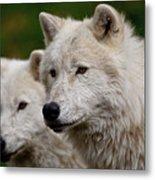 Arctic Wolf Pair Metal Print by Michael Cummings