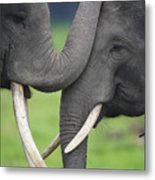 Asian Elephant Greeting Metal Print by Cyril Ruoso