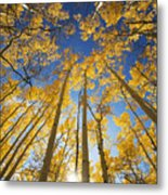 Aspen Tree Canopy 3 Metal Print by Ron Dahlquist - Printscapes