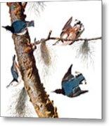 Audubon: Nuthatch Metal Print by Granger