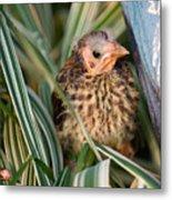Baby Bird Hiding In Grass Metal Print by Douglas Barnett