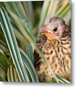 Baby Bird Peering Out Metal Print by Douglas Barnett