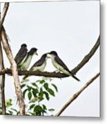 Baby Birds - Eastern Kingbird Family Metal Print by Christina Rollo